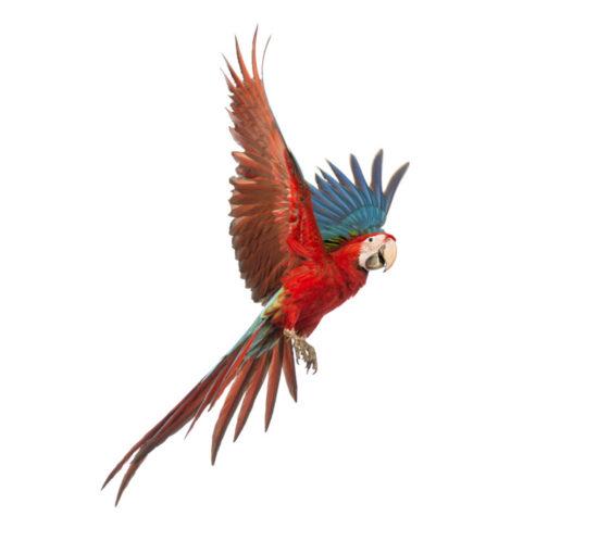 Kontiki Parrot Logo